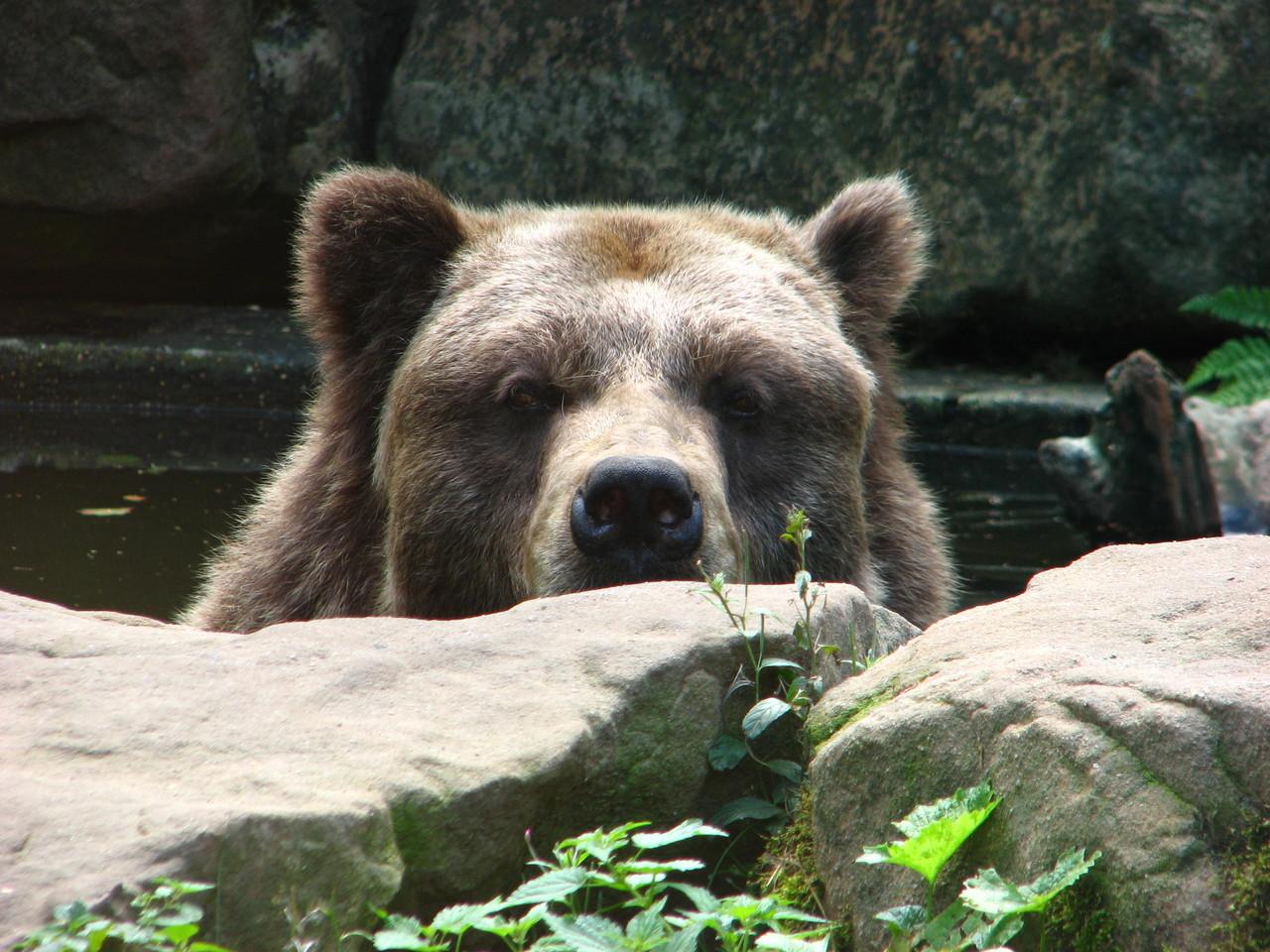 Blickkontakt mit dem echten Bären