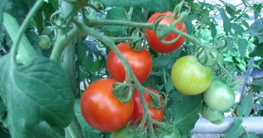 トマトを作っています。甘っくて美味しい。
