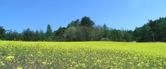 中山高原菜の花畑にて