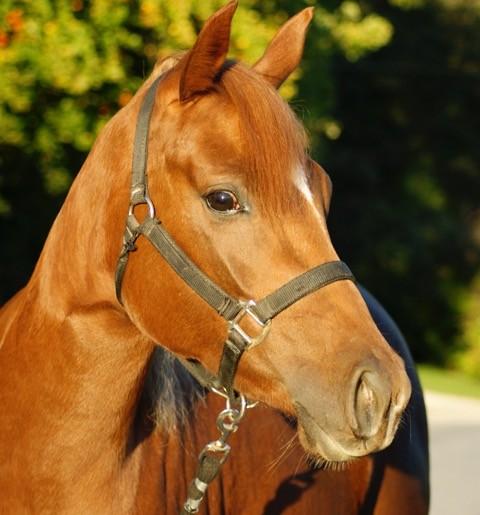 Pferd , Quarter Horse