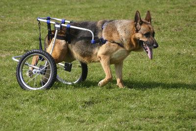 degenerative myelopathy altdeutsche schaferhund