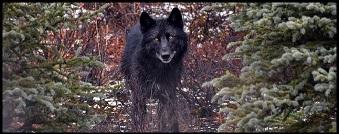 Le Voir Loup - Mythes & Légendes Urbaines