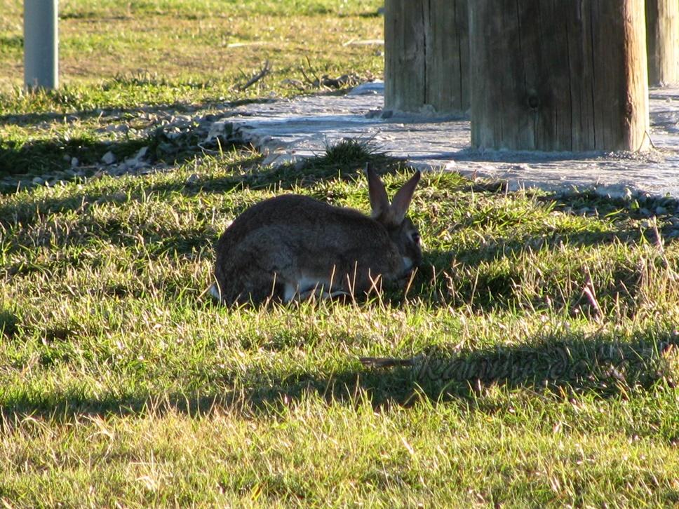 レイクテカポのウサギ