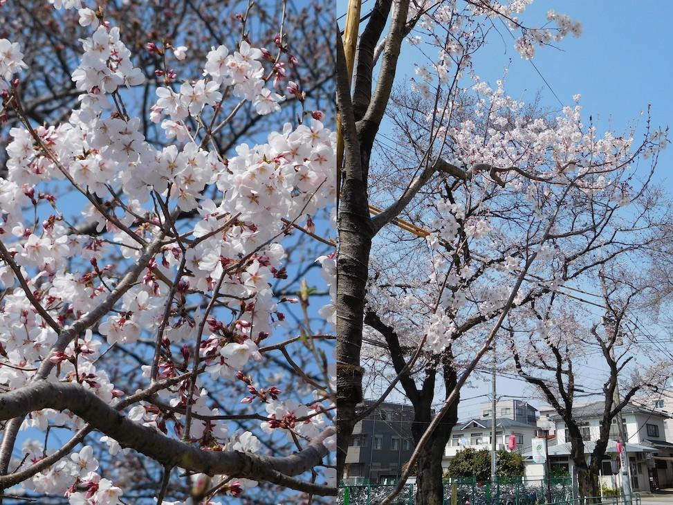 平成最後の府中市の桜