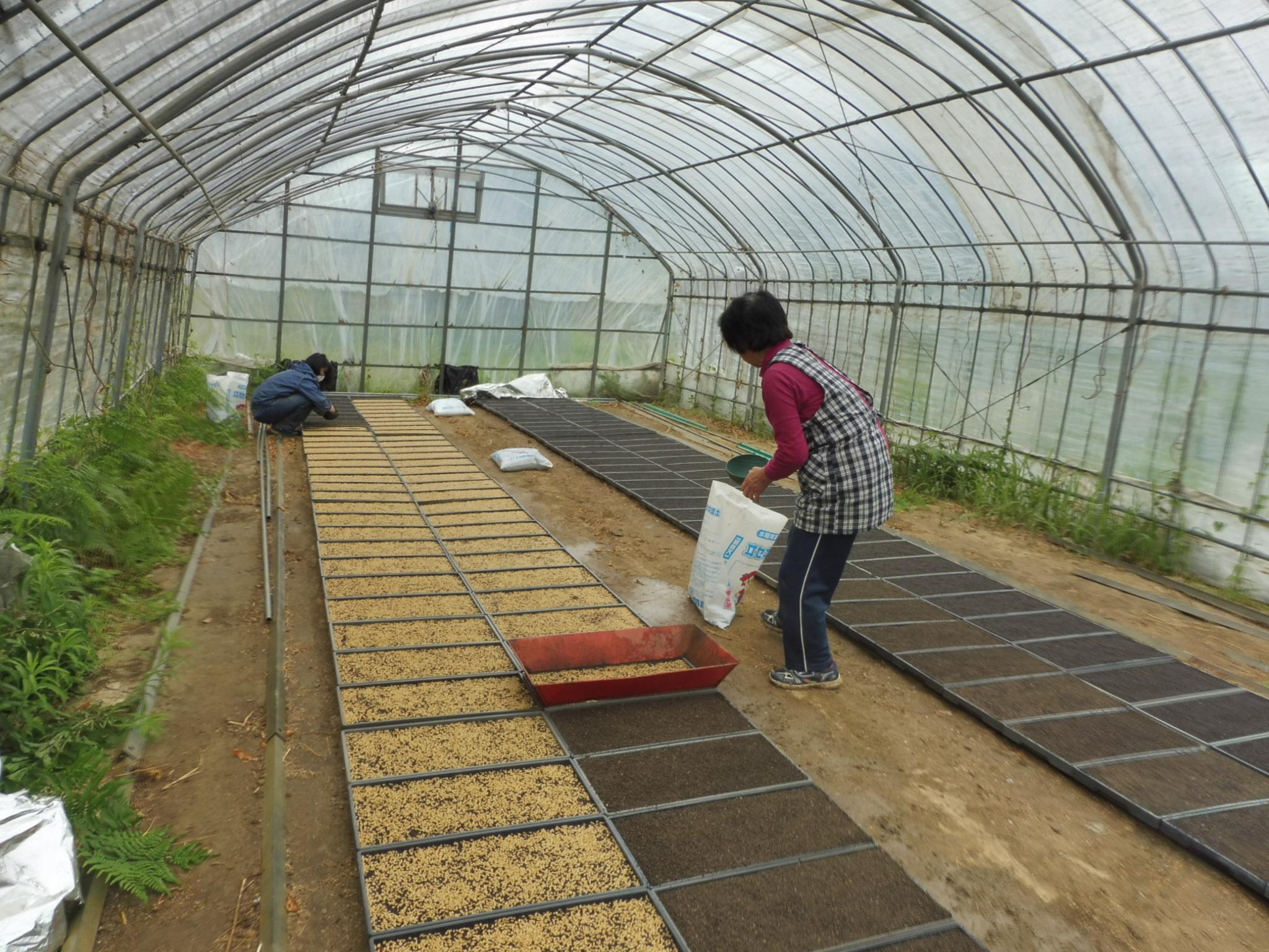 育苗時は種子の密度が高く、また多湿になるために病害が発生しやすくなります。これを防ぐために種子消毒が欠かせません。