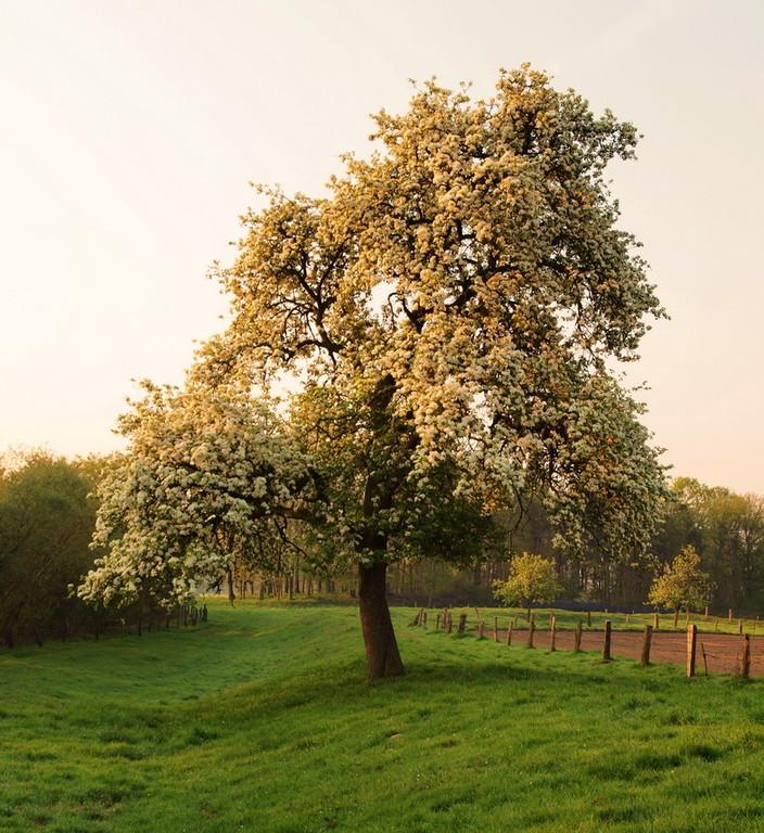 2011-04-22---3                     Birnbaum zwischen Saerbeck und Hembergen