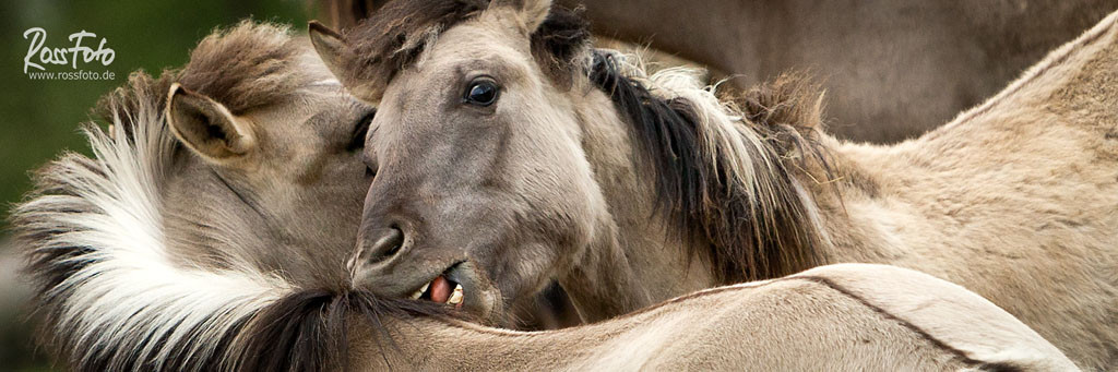 RossFoto Dana Krimmlig; Pferdefotografie; Fotografie; Wanderreiten; Westernreiten; cutting; Western horse; quarter; appaloosa; Urpferde, Tarpan, Konik, Wildpferde im Merfelder Bruch