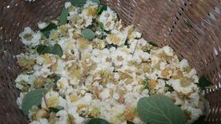 当日咲いたばかりの花を集め、葯を取り出します。