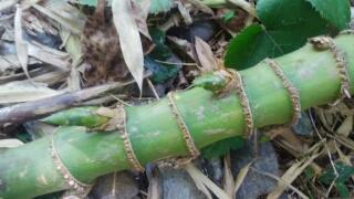 繁殖力の強い孟宗竹の根には、タケノコを作る芽を持っています。