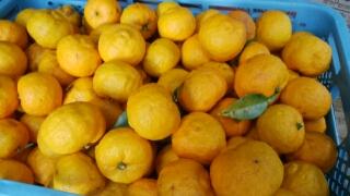 本柚子は花柚子と違い香りが強く料理用です。