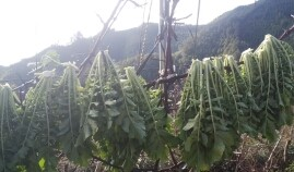 大根の葉は炒めて食べるだけでなく、漬物にも、、、、。