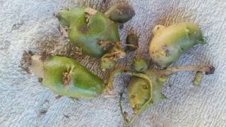 茎の根本にこんなものが沢山出来ました。