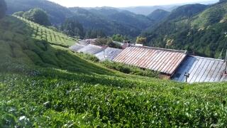 収獲を終えた茶ノ木は、刈り落としの作業が待っています。