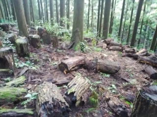古いホダ木を一か所に集め、新しいホダ場を作ります。