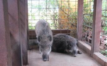 人工飼料で育てた猪は大人しく美味しそう