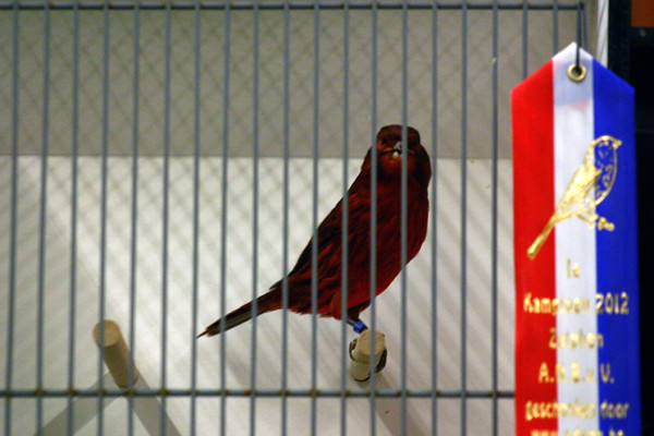 Kleurkanarie agaat rood intensief van Geert Jansen.