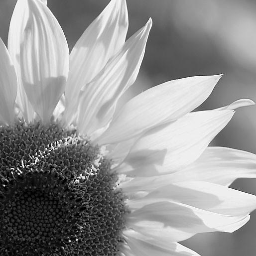 Sonnenblume schwarzweiss und farbig