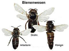 Drohn (18mm)   Arbeiterin (14mm)  Königin (20mm)