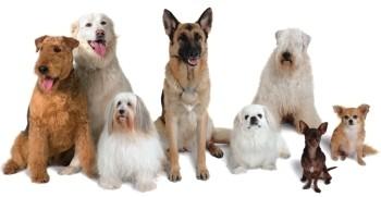 Meute de chiens