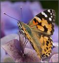 Schmetterling, Bannalec, Frankreich, 2009