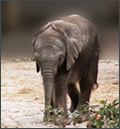 Elefantenbaby Marla, Zoo Köln, deutschland, 2007