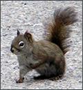 Eichhörnchen, Banff, Canada, 2005