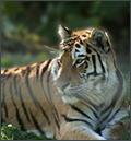 Tiger, Zoo Wien, Österreich, 2007