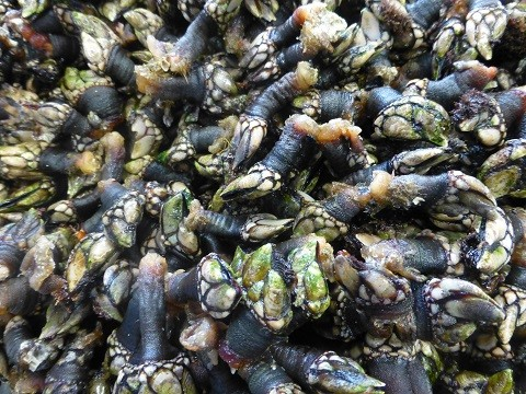 Entenmuscheln - eigentlich ja Krebse - Perceves in Portugal