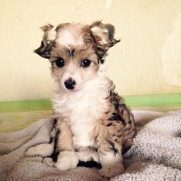щенок китайца