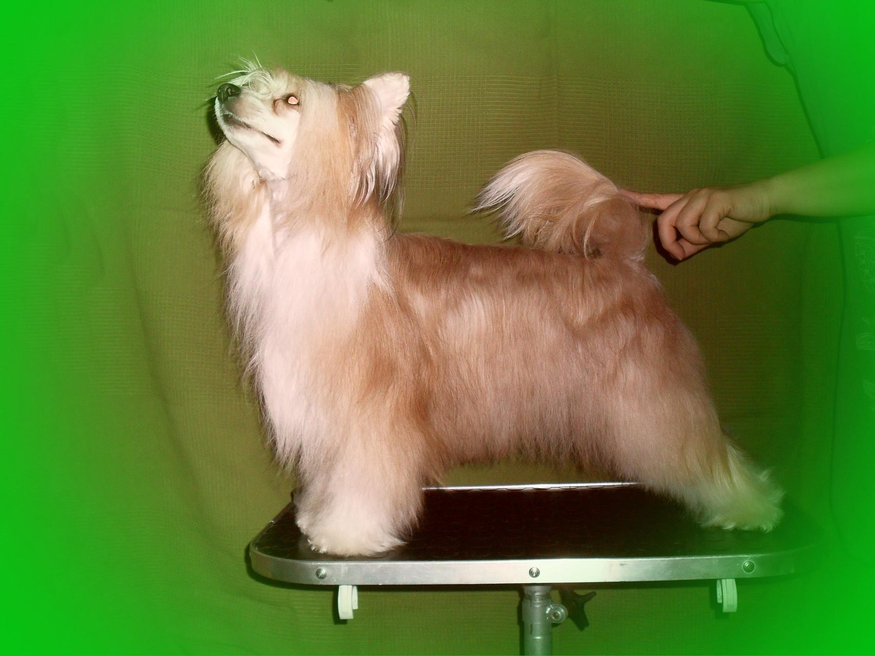 китайская хохлпьая собака фото