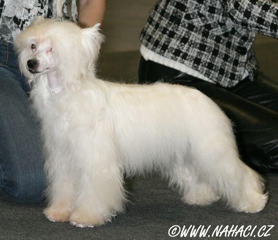 сука китайской хохлатой собаки