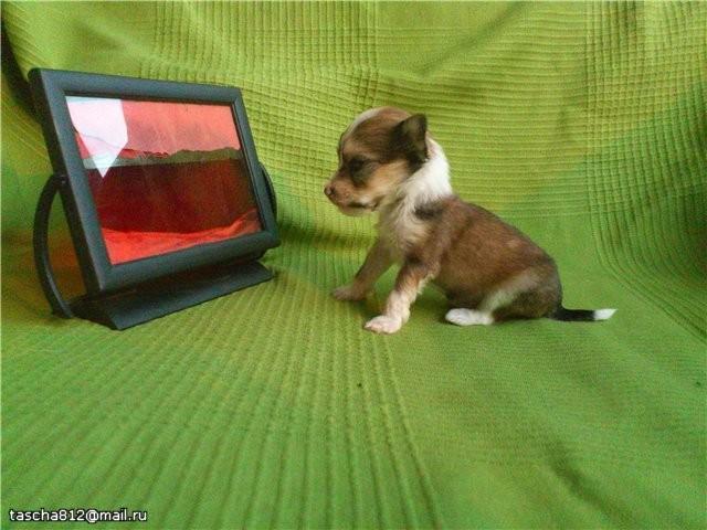 фото щенок хохлатой собаки