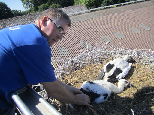 Storchenvater Wilfried Glauch beim Beringen von Jungvögeln