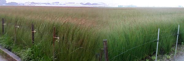 八代 い草の風景 H26.6.20