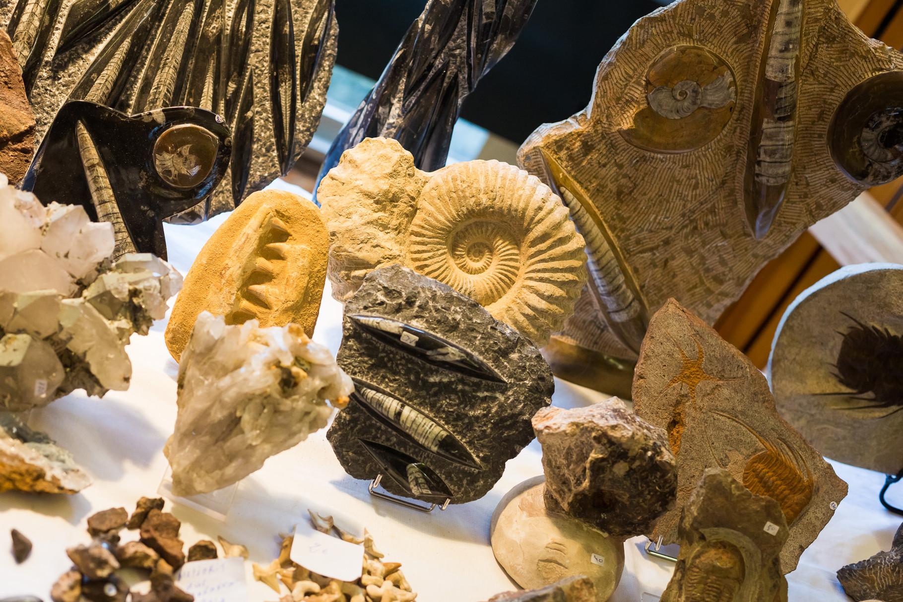 Verschiedene Fossilien