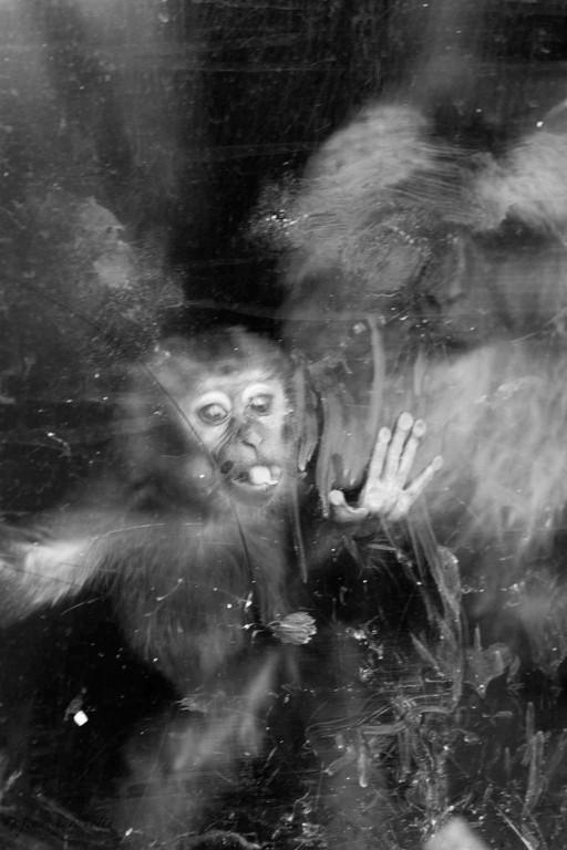 singes en vitrine