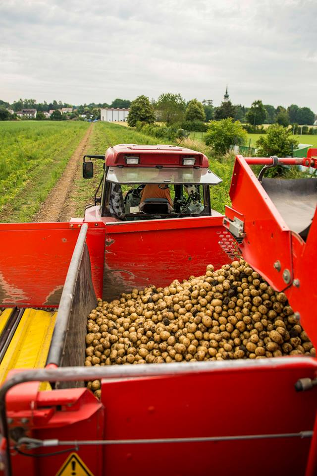 """Im """"Bunker"""" werden die Kartoffeln gesammelt"""