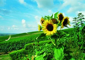 Sonnenblumen in den Weinbergen
