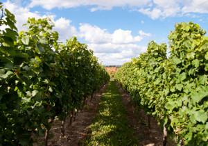 Weinberge mit Chardonnay Rebstöcken