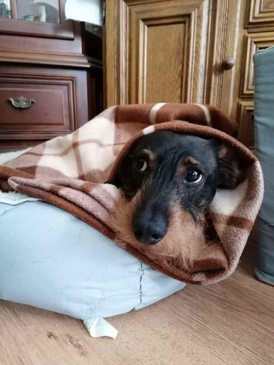 Alois bleibt lieber im Körbchen unter der warmen Decken- Schnee und Eisregen sind nix für ihn