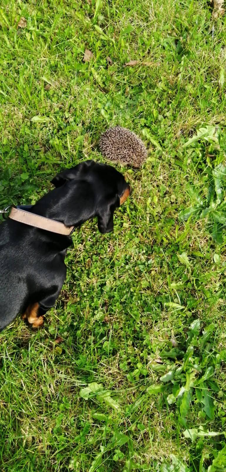 Bubi macht Bekanntschaft mit einem Igel