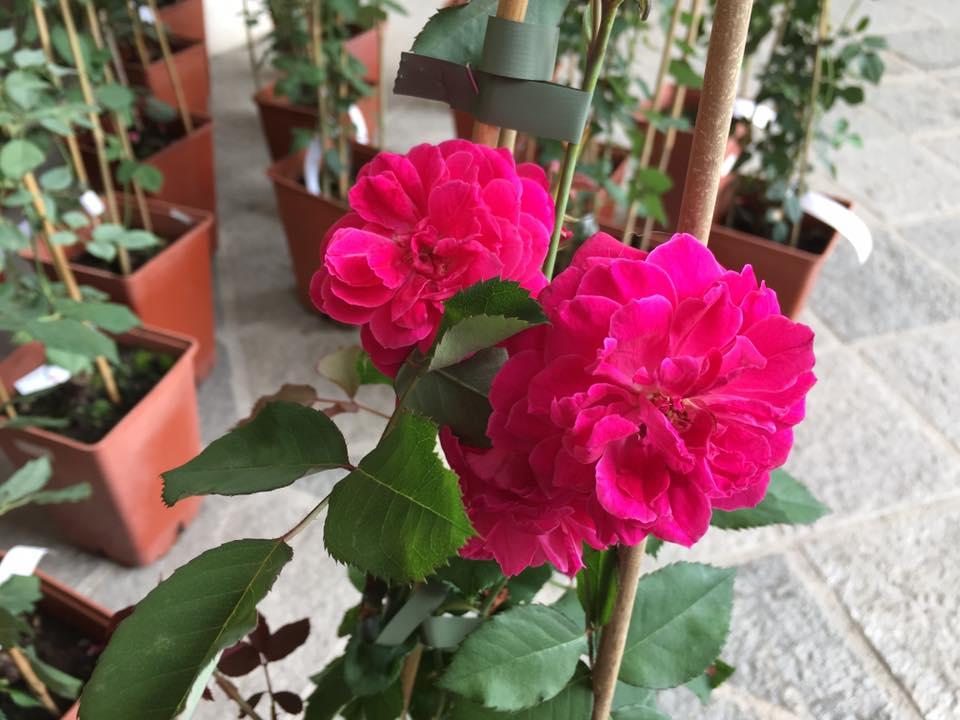 Eccoci finalmente arrivati al giorno tanto atteso...la consegna ufficiale delle rose Garden Club di Biella al Chiostro di San Sebastiano, qui a Biella.