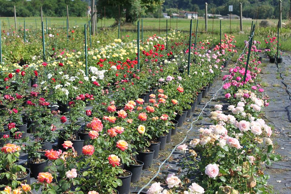 #AcquaBase Rose ok - Vivai Veimaro