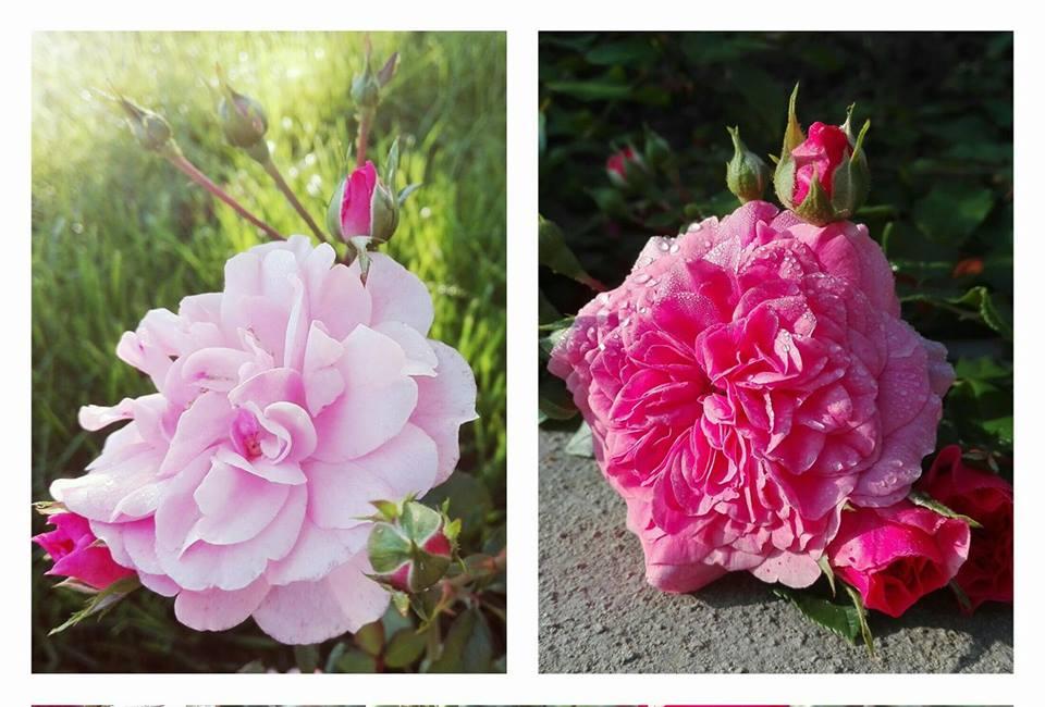 Vivai Veimaro Franco, le vostre rose e i vostri frutti di bosco stanno dando soddisfazioni! #GiardinoDautunno — presso Ferrara.