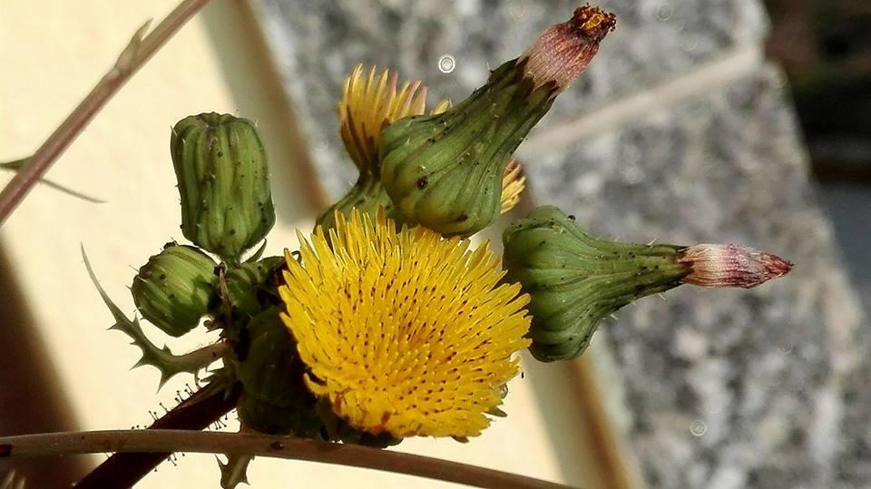 La presunzione di un fiore selvatico
