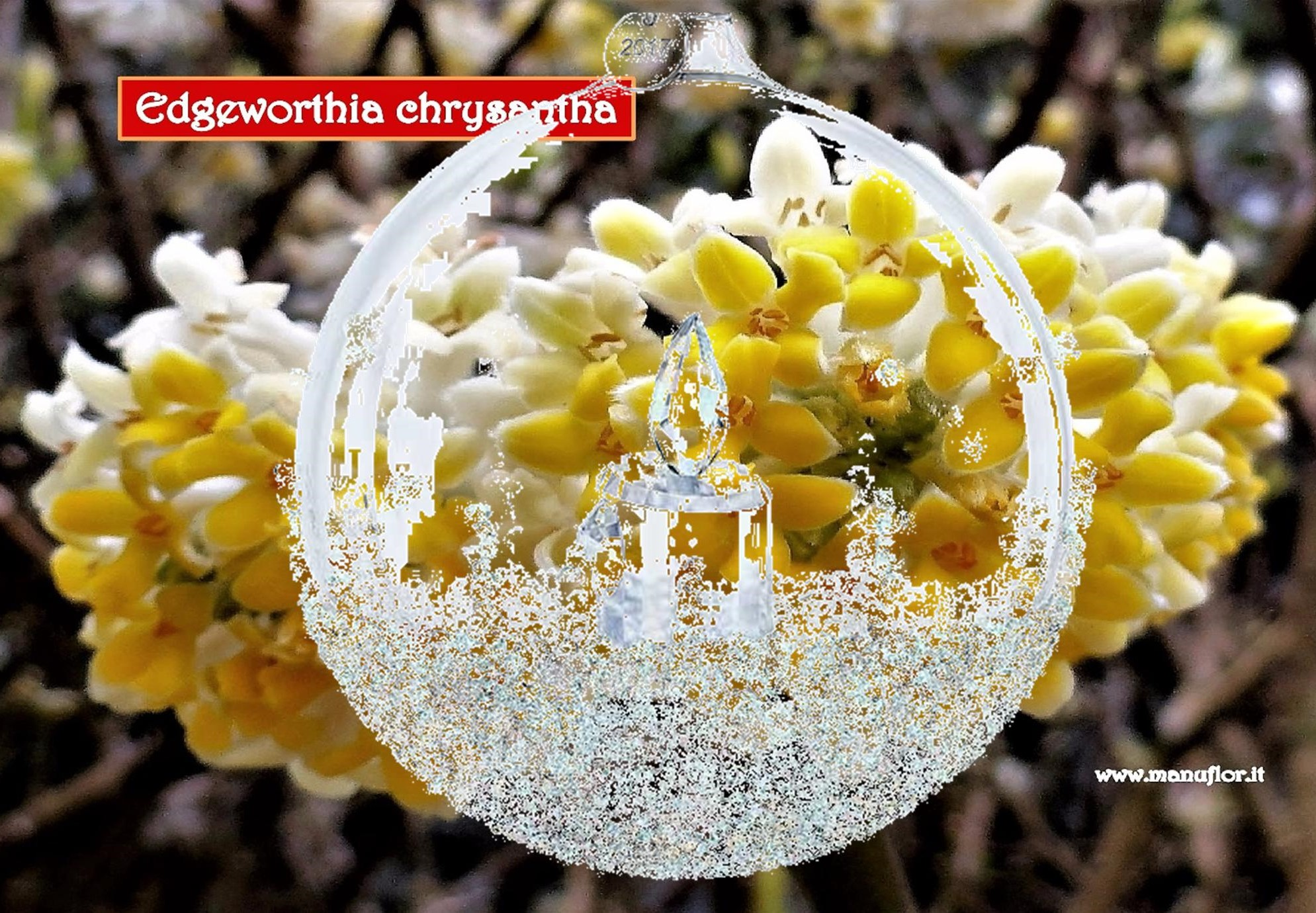EDGEWORTHIA chrysantha - Con Manuflor, elegante regalo! Una pianta protagonista,