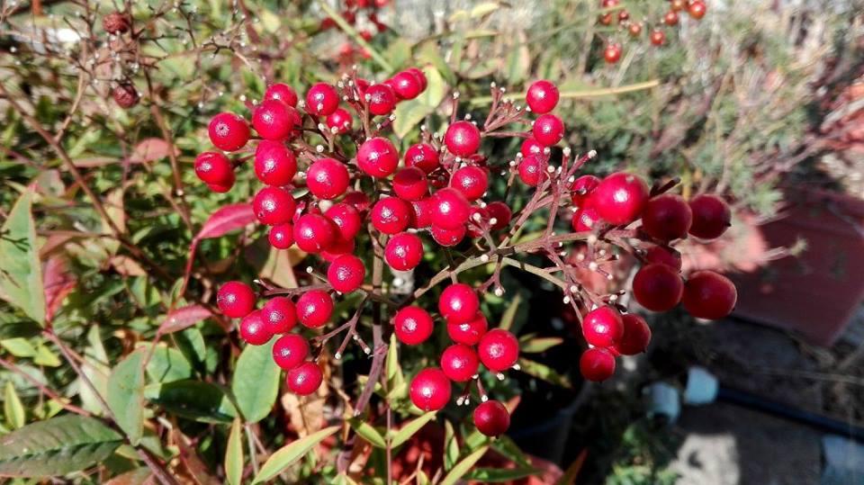 NANDINA DOMESTICA  FAMIGLIA: Berberidaceae  ORIGINI: Asia