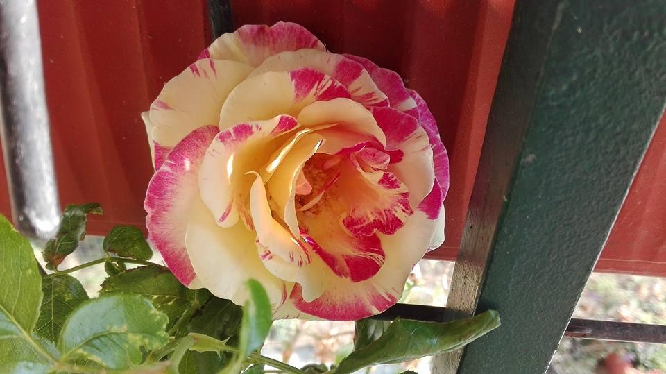 Vista e olfatto in estasi. Se continua così avremo rose fino a Natale Le Rose Stanno respirando magnificamente grazie a Acquabase BioladyNeutro