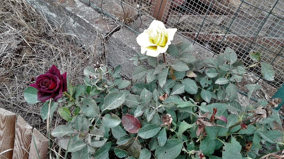 Rosa ABRACADABRA  Le prime 2 foto sono la pianta lo scorso anno, la terza foto è la stessa pianta ma quest'anno. Non sembrerebbe, vero?