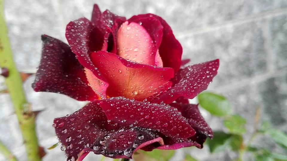 """La Bellissima Rosa """"Eddy Mitchell"""" si Gode la Sua Amata #AcquaBase"""